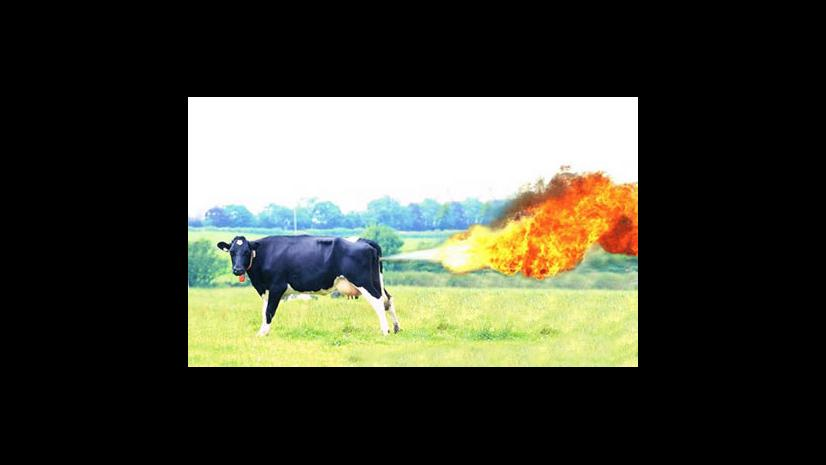 Farting cow