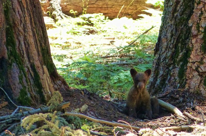 Cub bear spotted from trail Crescent Meadow, Sequoia.