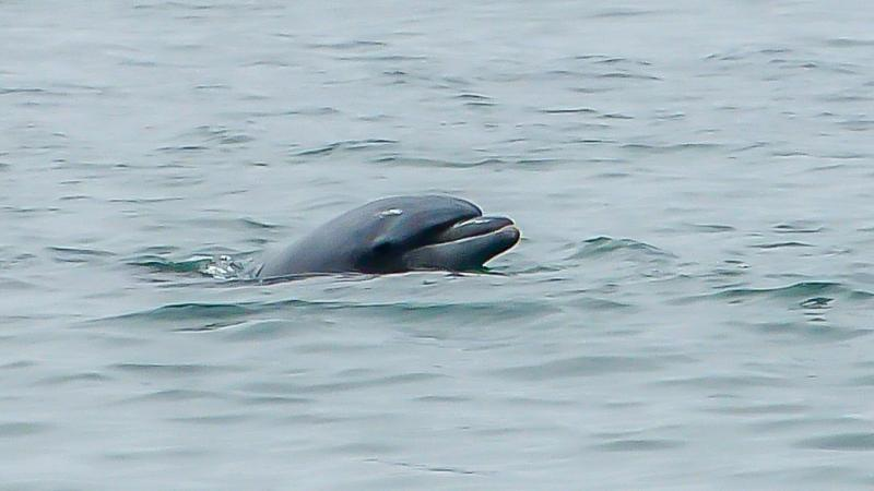 Dolphin at Carpenteria