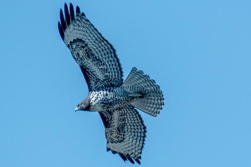 Hawk flying around Richmond Point