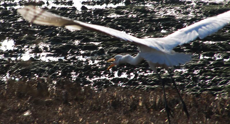 Egret taking flight along the Alameda Shoreline