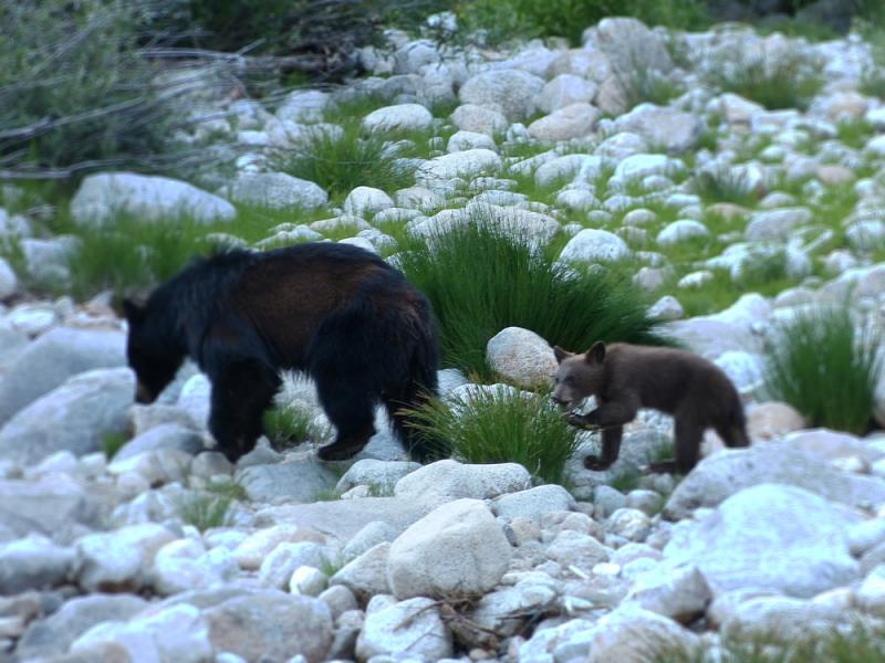 Bears in the riverbed just below our campsite!