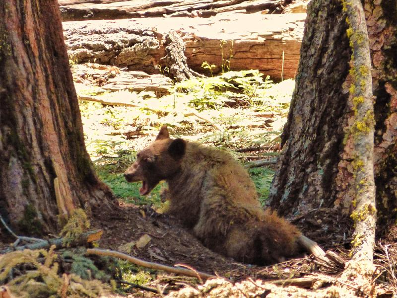 Momma Bear as seen from Crescent Meadow trail.