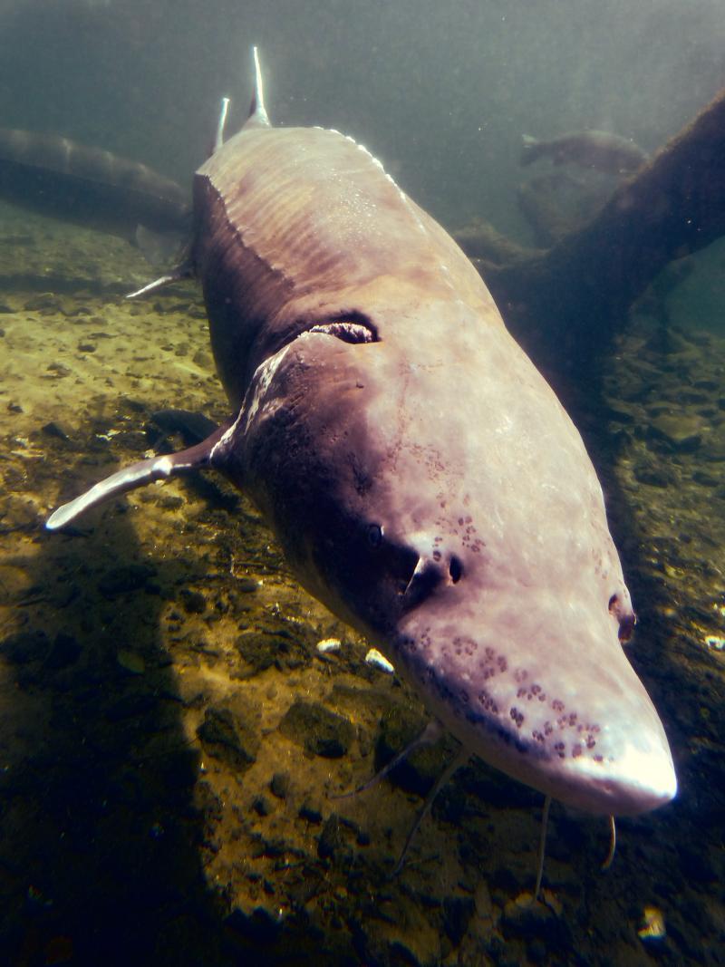 Herman the 70-year-old 10-feet-long sturgeon