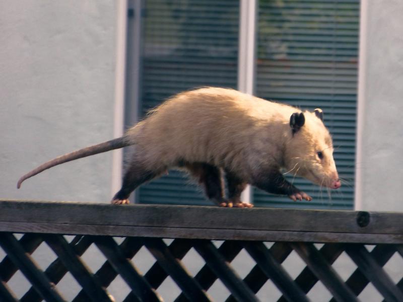 Alameda Possum. Looks like he's going to work.