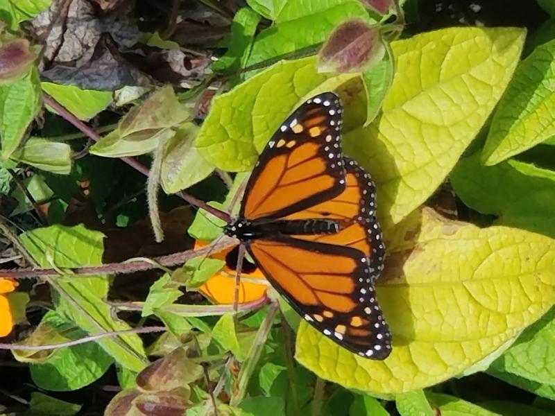 Monarch in back yard