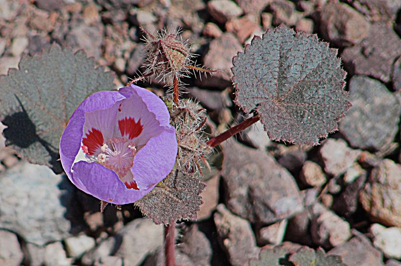 Wildflower growing out of flats of Death Valley.