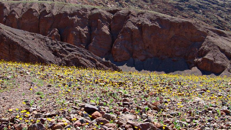 More wildflowers bear Badwater.