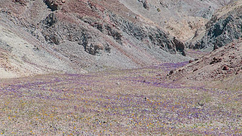 The purple wildflowers flow at Death Valley National Park.