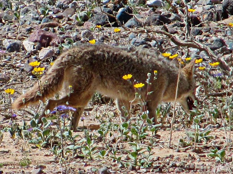 coyotes roam the badlands.