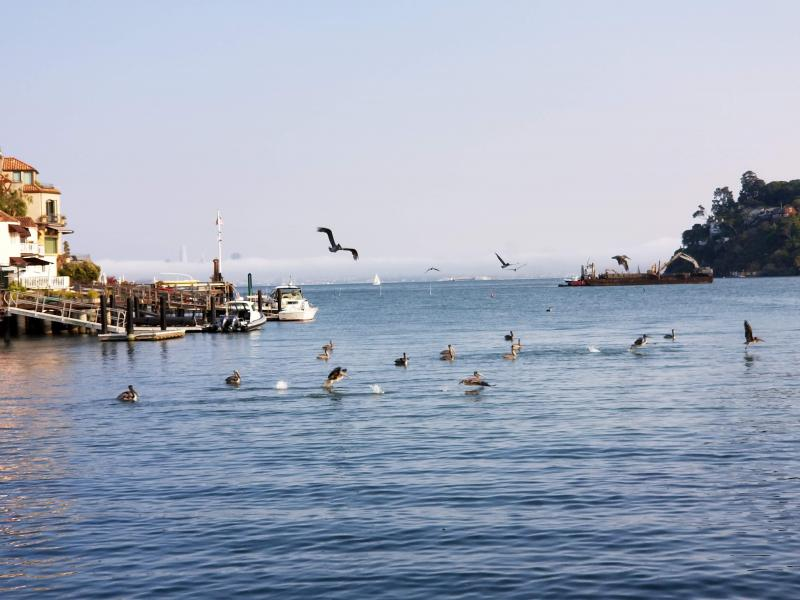 Brown Pelicans evening routine in Belvedere Cove