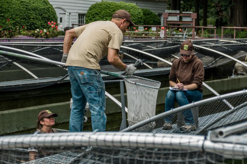 Sorting the baby fish