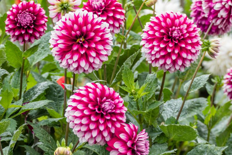 Dahlias in Golden Gate Park