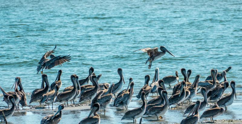 Pelican Island