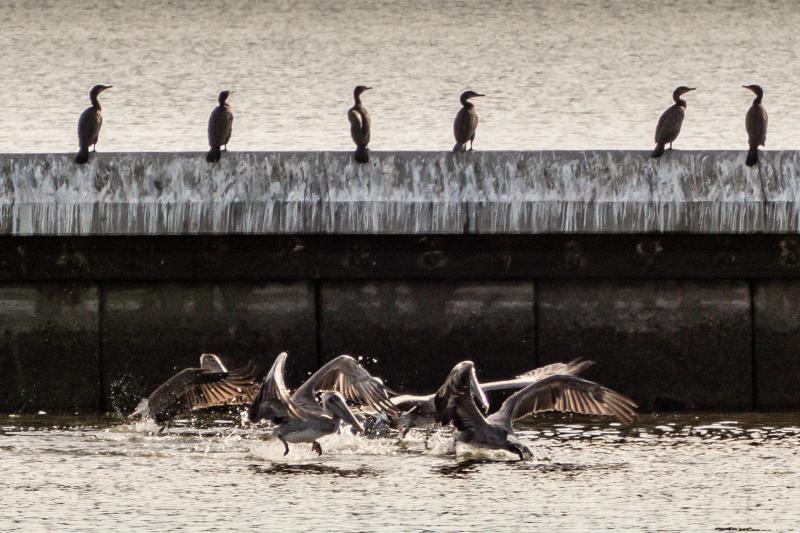 Pelicans at Crab Cove