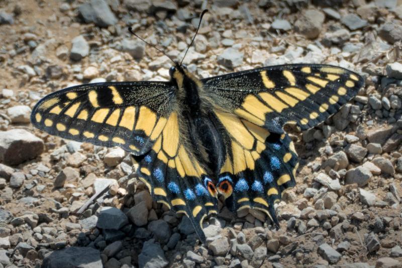 Lone monarch.