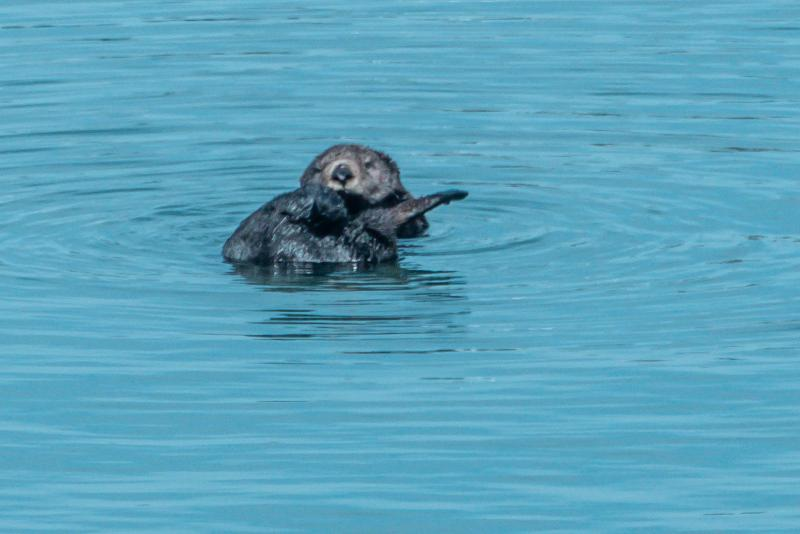 Seat otter at Moss Landing, California