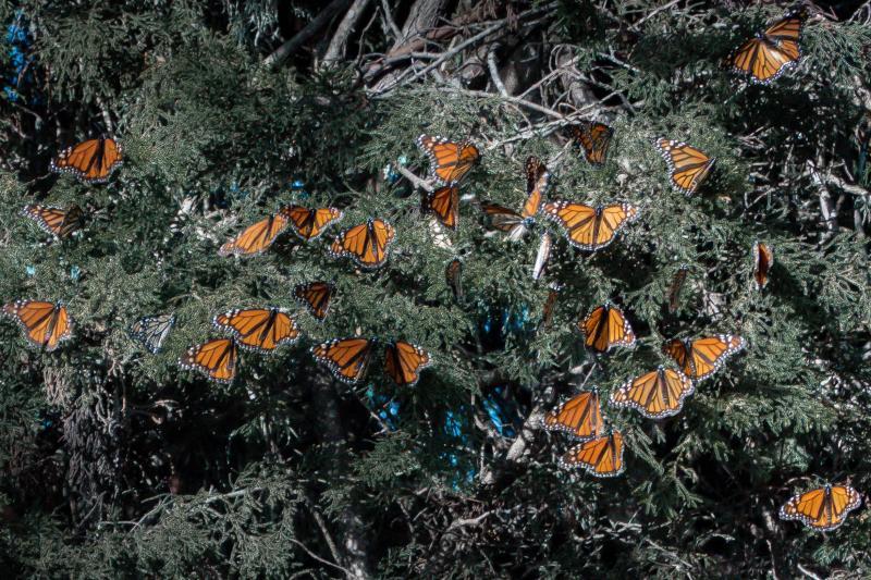 Monarch Butterflies at Santa Cruz