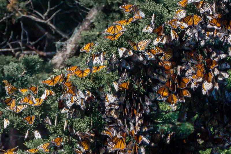 Monarch Butterflies at Santa Cruz