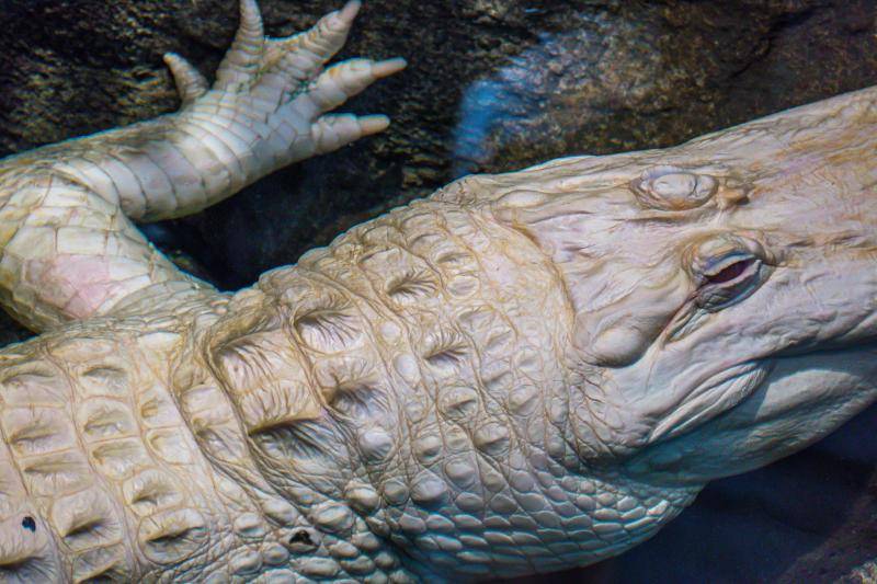 The albino alligator at San Francisco's Academy of Sciences