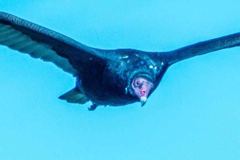 Turkey Vulture, Alameda Point