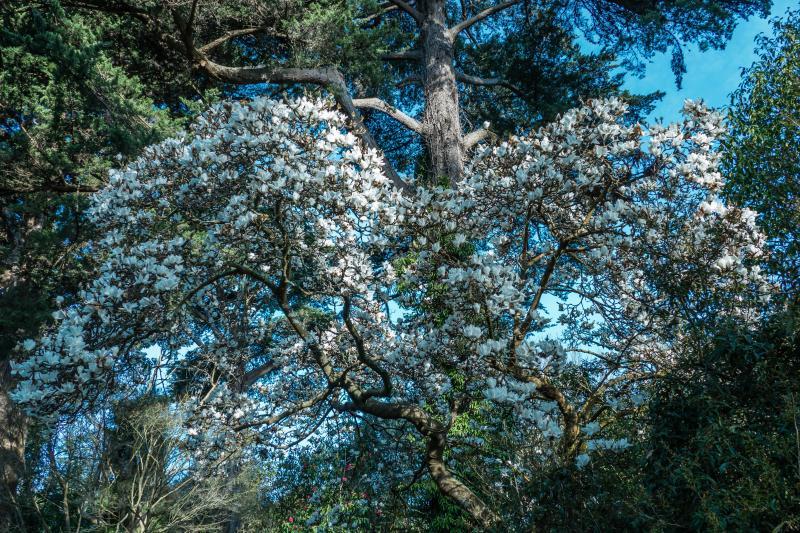 Magnolias at Golden Gate Park