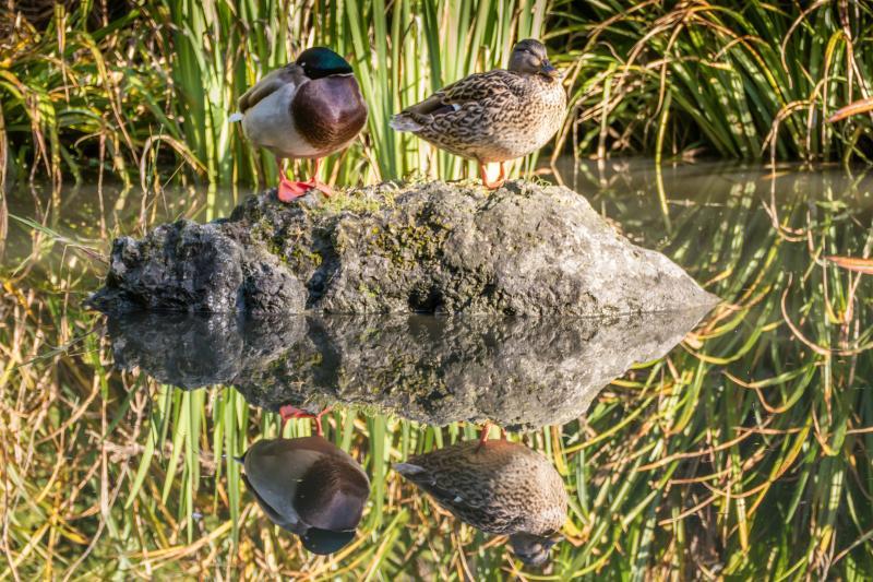 """As my friend Rachel says, """"I love duck couples."""""""