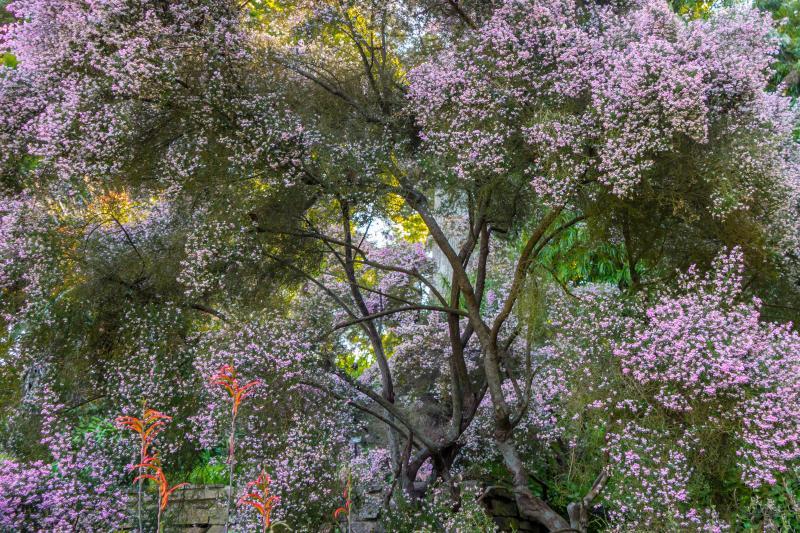 Magnolias! Botanical Gardens at Golden Gate Park