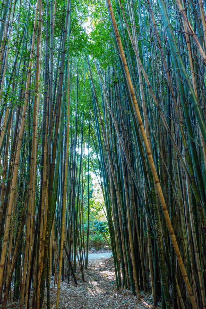 Bamboo forest - Botanical Gardens at Golden Gate Park