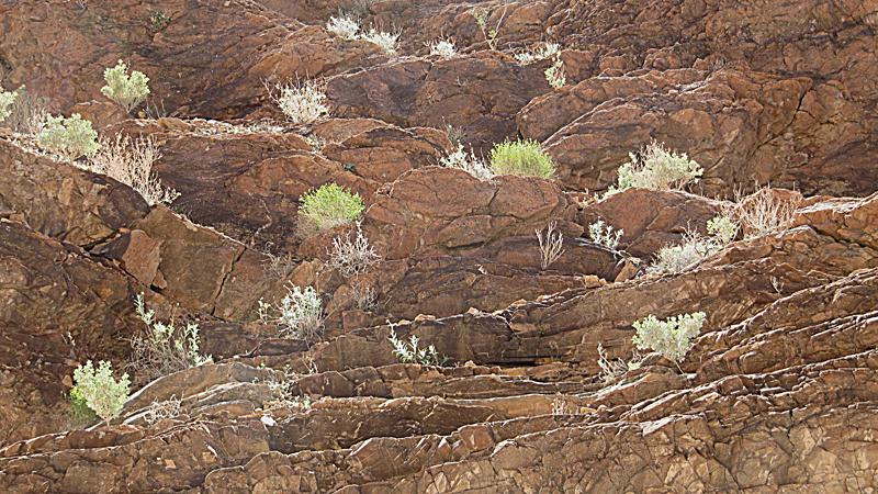 Plants growing on cliffs - Mosaic Canyon.