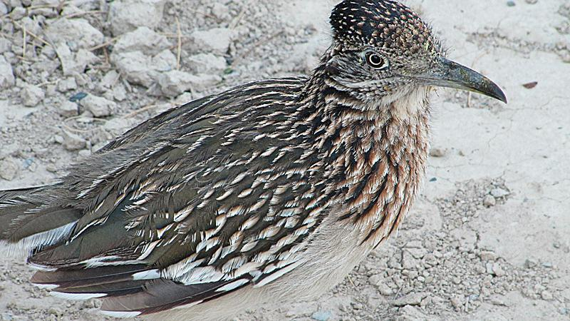 Roadrunner at our campground.